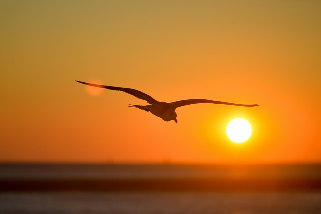 Seagull Flying In Front OF Orange Sunset.jpg